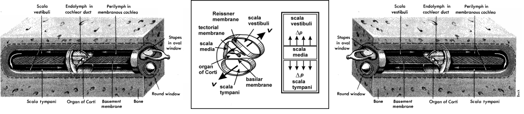 a-three-compartment-cochlear-model